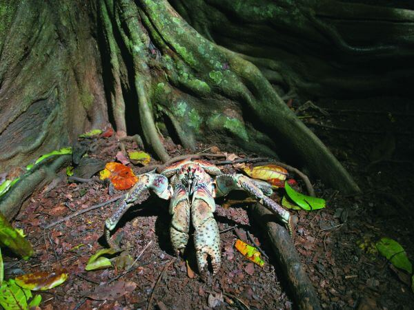 robber crabs capable of tearing a coconut apart with their bare claws hide in ambush at the courses edge the killer claws of the robber crab