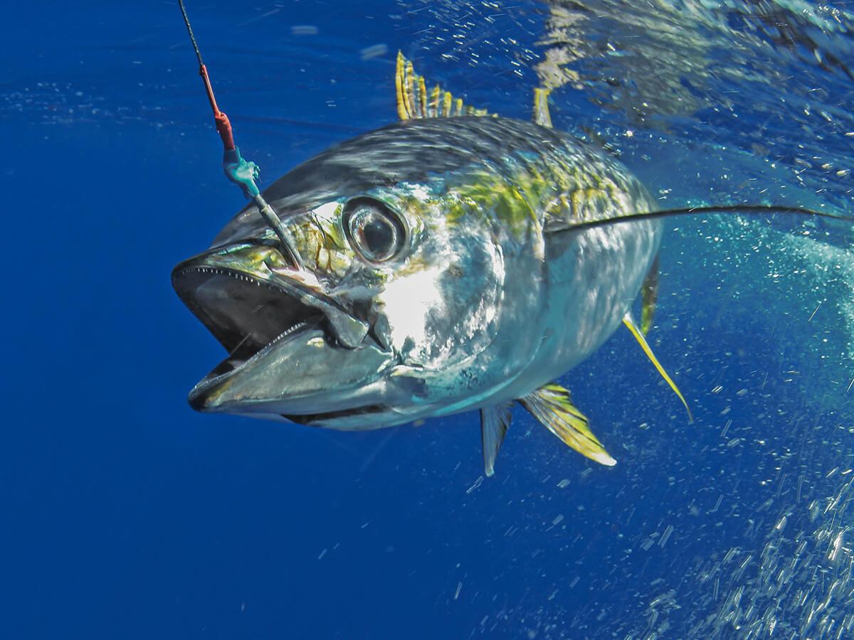 tuna on the troll